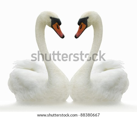Two white swans on ripple surface. - stock photo