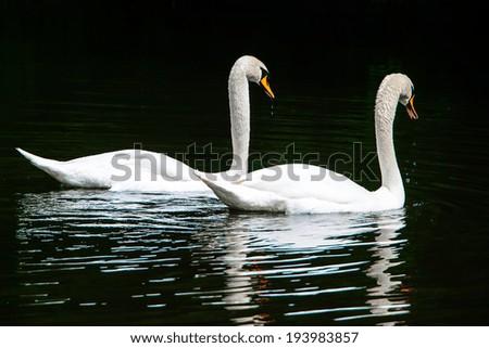 Two white swans on the lake - stock photo