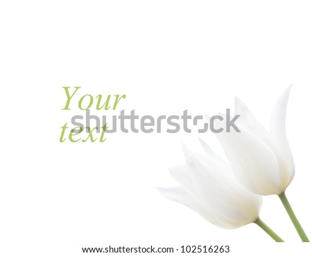 Two white tulips isolated on white background with copy space - stock photo