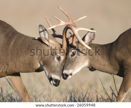 Two whitetail deer bucks challenge each other during the rut. - stock photo