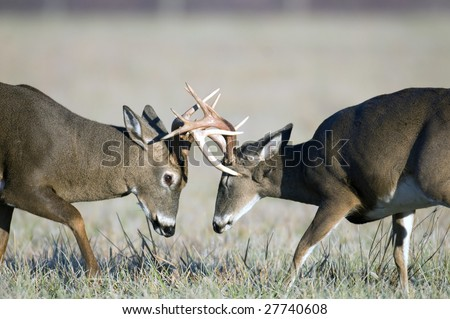 Two whitetail deer spar during the rut. One antler narrowly misses the eye of the buck on the right - stock photo