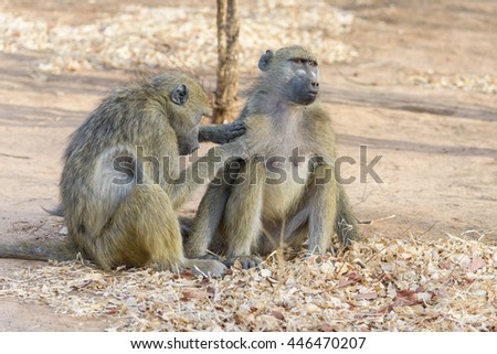 Two wild  baboon in Botswana, South Africa - stock photo