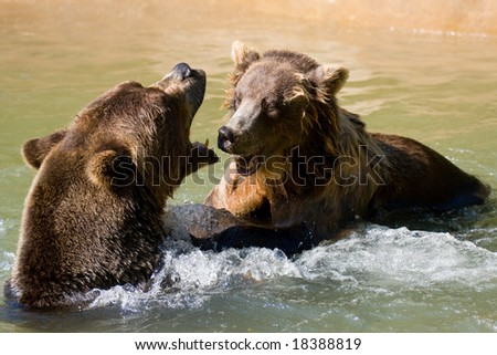 Two wild brown bears fighting in the water. - stock photo