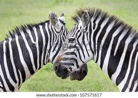 Two WILD Burchell's Zebra (Equus quagga burchellii) create perfect symmetry and harmony while standing face to face in Kenya, Africa.  Similar to the Grant's Zebra (Equus quagga boehmi). - stock photo