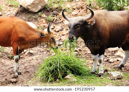 Two Wild Cattle eating grass on the hill - stock photo