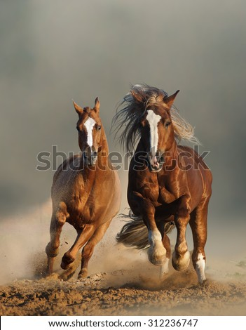 Two wild chestnut horses running together in dust, front view - stock photo