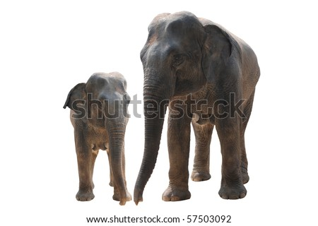 two wild elephant isolated on white - stock photo