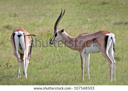 Two Wild Male and Female Impalas (Aepyceros melampus) in the Masai Mara, Kenya, Africa. - stock photo