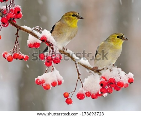 Two winter American Goldfinches (Carduelis tristis) on a snowy hawthorn branch full of bright red berries. - stock photo