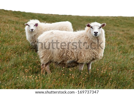 Two woolly Icelandic sheep in the Westfjords region of Iceland - stock photo