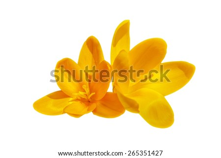 Two yellow crocus flowers isolated on the white background - stock photo