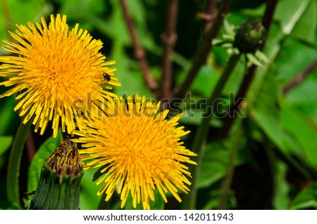 two yellow dandelion flowers on natural green background - stock photo