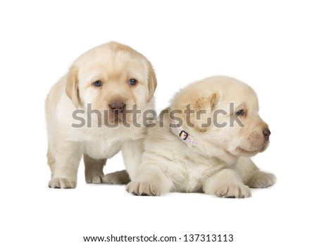 Two Yellow Labrador Retriever Puppies (4 week old, isolated on white background) - stock photo