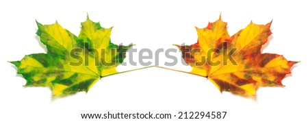 Two yellowed autumn maple leafs isolated on white background - stock photo
