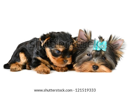 two yorkshire terrier puppy  isolated on white - stock photo