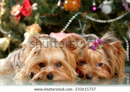 Two yorkshire terrier puppy with Christmas tree - stock photo