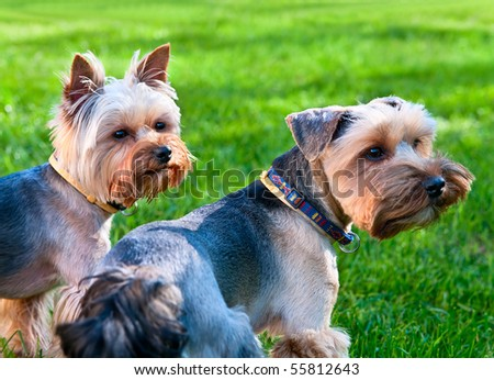 Two Yorkshire terriers on the green grass - stock photo