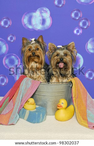 Two yorkshire terriers sitting in a bathtub with towel,rubber ducks, and sponge against a bubble backdrop - stock photo