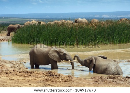 Two young African elephants bathing in a water hole, Addo Elephant National Park near Port Elizabeth, South Africa. - stock photo