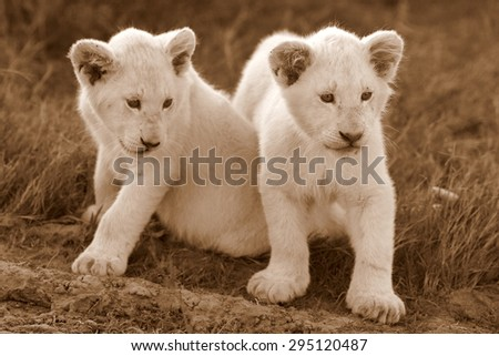 Two young baby white lion cubs in this image. South Africa - stock photo