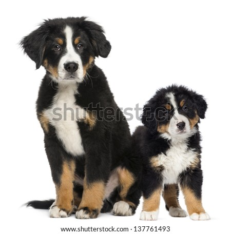 Two Young Bernese Mountain dogs, 3,5 months old and puppy, next to each other - stock photo