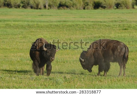 Two young Bison playing at combat. - stock photo