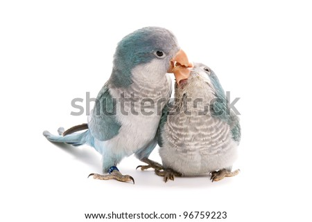 Two young blue quaker, Myiopsitta monachus, 10 weeks old on a white background. - stock photo