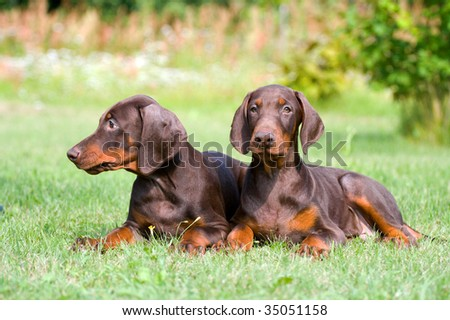 two young brown doberman puppys - stock photo