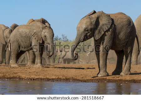 Two young elephants stand near a waterhole with the rest of the herd behind them. - stock photo