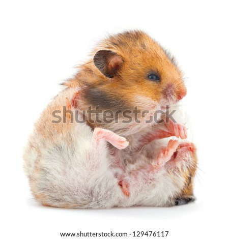 Two young hamster playing isolated on white - stock photo