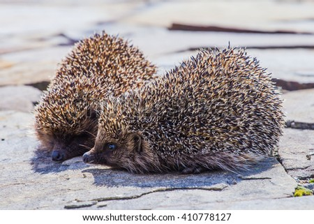 two Young hedgehog - stock photo