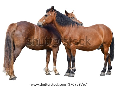 Two young horses isolated on white background/Two horses/Two horses isolated on white - stock photo