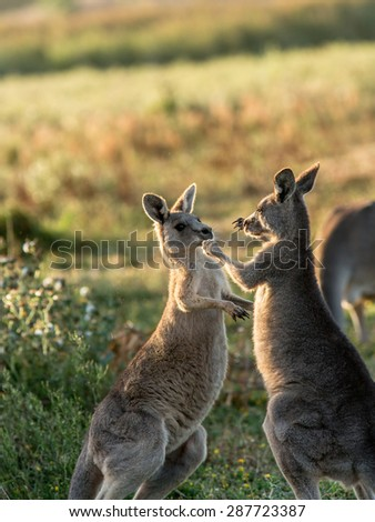 Two young kangaroos are playing together though it also looks like they are box fighting like two boxers. - stock photo
