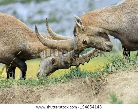 Two young male alpine ibex (capra ibex) or steinbock fighting in Alps mountain, France - stock photo