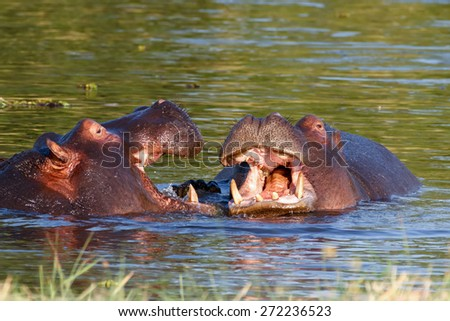 Two young male hippopotamus Hippopotamus amphibius, rehearse fray and figting with open mouth and showing tusk. National Park Okawango, Botswana, wildlife photography - stock photo