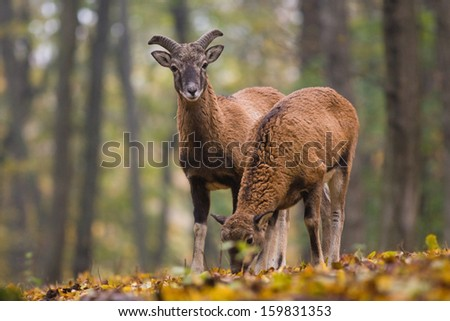 Two young mouflons in autumn forest - stock photo