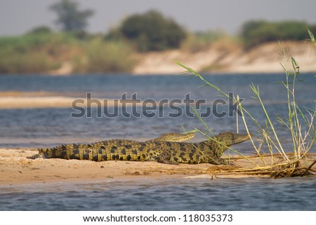 Two young nile crocodiles resting on a sand bank next to the Zambezi River, Caprivi - stock photo