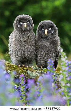 Two young owls Strix nebulosa - stock photo