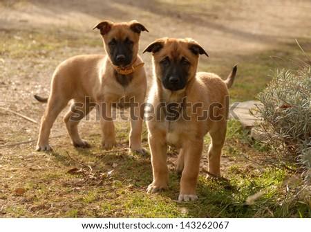 two young puppies purebred belgian shepherds malinois - stock photo