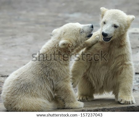 Two young siblings of polar bear are telling baby stories. Cute and cuddly cubs with cheerful expression. Careless childhood of the excellent representatives of the severe and cold Arctic.  - stock photo