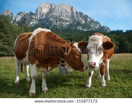Two young Simmentaler dairy cows on a pasture. - stock photo