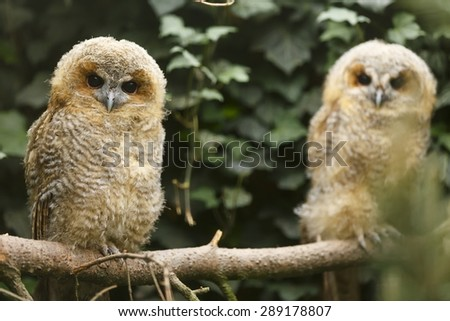 two young tawny owls - stock photo
