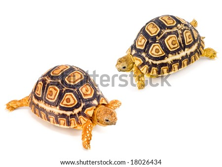 two young tortoises - Geochelone Pardalis - meeting each other - stock photo