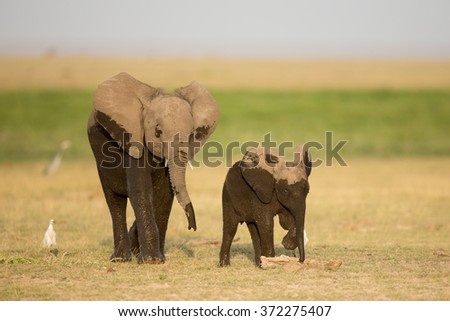 Two young wet African Elephants, Amboseli, Kenya - stock photo