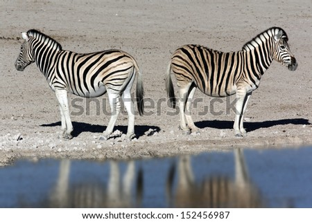 Two young Zebra (Equus quagga) by a waterhole in Etosha National Park in Namibia - stock photo
