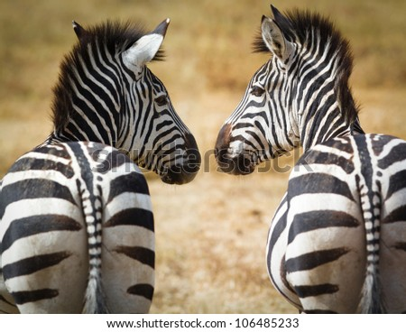 Two Zebra looking at each other - stock photo