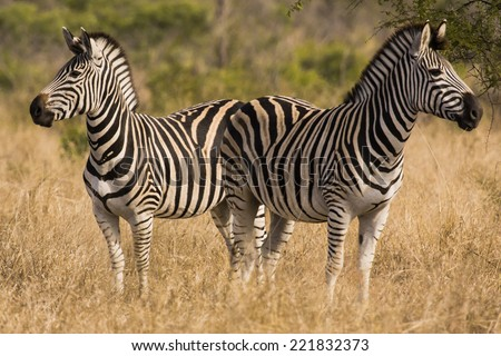 Two zebra looking in opposite directions. Kruger National Park, South Africa - stock photo
