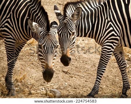 Two zebras cheek to cheek, horizontal - stock photo