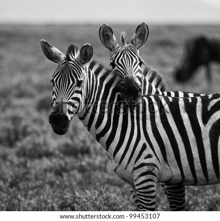 Two Zebras in a Touching Pose on the Serengeti Tanzania Africa Black and White - stock photo