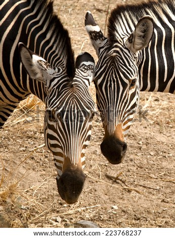 Two zebras staring at viewer head to head - stock photo